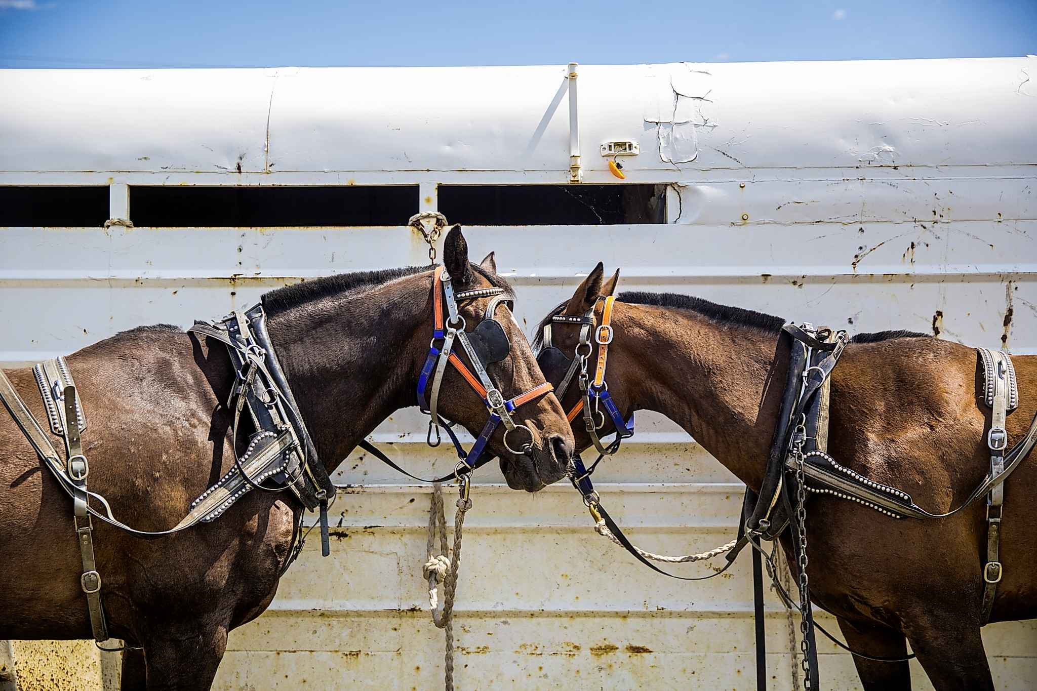 Kurtis Callander's chariot horses, tacked up and ready to go.