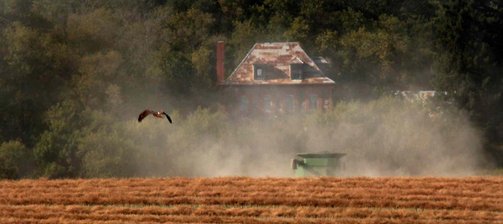 A red-tailed hawk soars, scanning a canola field being harvested near Notre Dame de Lourdes. (Phil Hossack / Winnipeg Free Press)