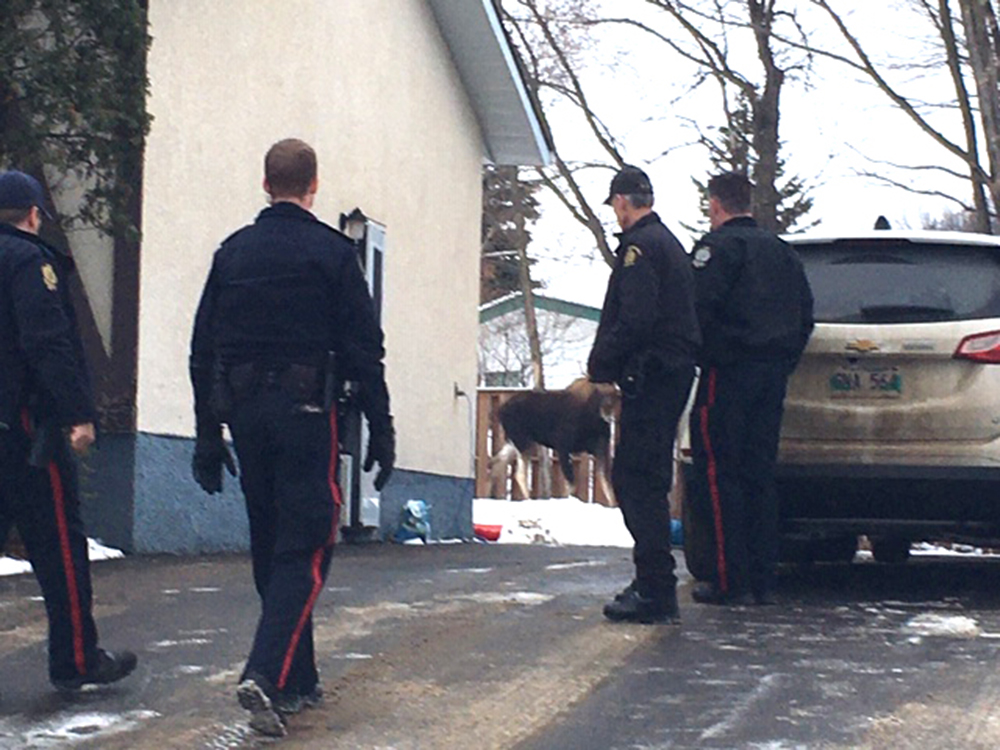Police and animal control officers were called to remove a trespasser from the backyard of a home in the area of Viceroy Crescent Thursday morning. (Brandon Police Service)