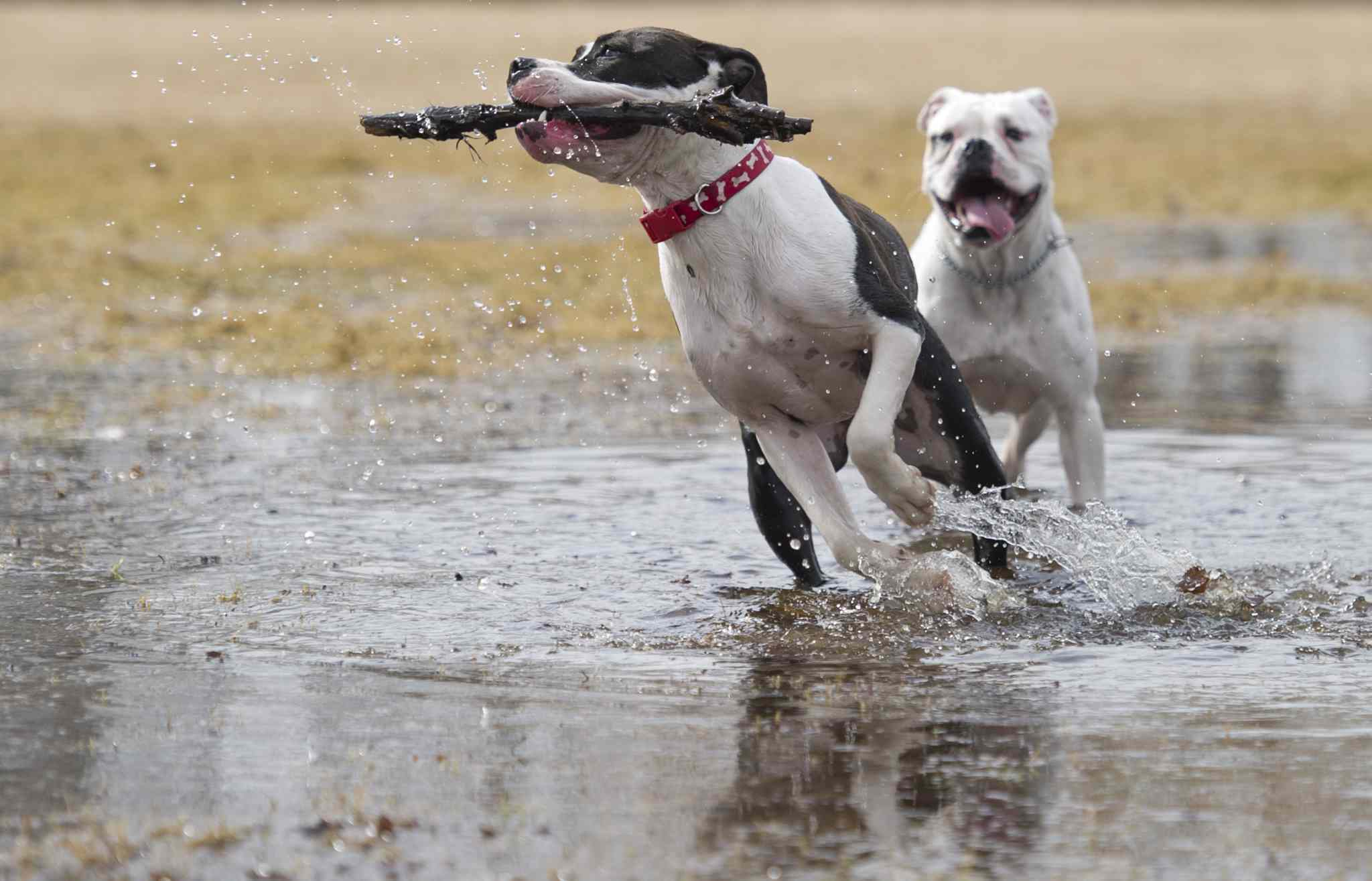 Pets enjoy splashing through springtime puddles at a dog park in Charleswood.