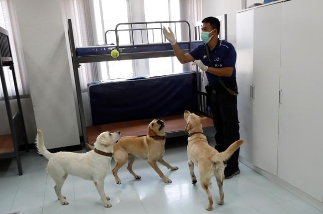 A dog trainer plays with left to right Angel, Bravo and Bobby, Labrador Retrievers, during a break in their training at the Veterinary Faculty of Chulalongkorn University in Bangkok, Thailand, Friday, May 21, 2021. Thailand has deployed a canine virus detection squad to help provide a fast and effective way of identifying people with COVID-19 as the country faces a surge in cases, with clusters found in several crowded slum communities and large markets. (AP Photo/Sakchai Lalit)