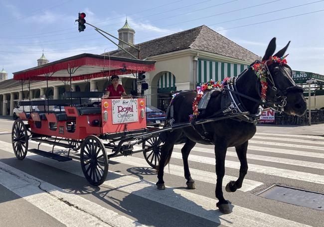A mule pulling a carriage ambles through the heart of the French Quarter in hurricane-tossed New Orleans on Thursday, Sept. 2, 2021. With nearly all the power back on in New Orleans nearly two weeks after Ida stuck, the city is showing signs of making a comeback from the Category 4 killer. (AP Photo/Stacey Plaisance)