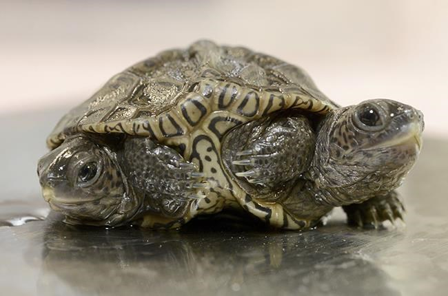 A two-headed diamondback terrapin is weighed at the Birdsey Cape Wildlife Center on Saturday, Oct. 9, 2021, in Barnstable, Mass., where the two-week old animal is being treated. The turtle is alive and kicking — with all six of its legs — after hatching recently. (Steve Heaslip/Cape Cod Times via AP)