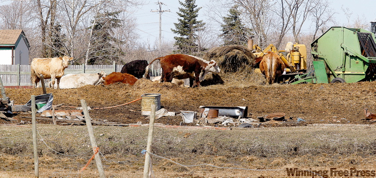 Livestock on a pile of manure surrounded by scrap and old machinery at the Kucas farm on St. Mary's Road.