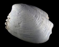 A new species of clam, ascetoaxinus quatsinoensis, is shown in this undated handout photo. Ten years after an unusually scalloped clam was dragged up from the ocean floor off northern Vancouver Island, the tiny mollusk is making waves in the research world. THE CANADIAN PRESS/HO - Royal BC Museum