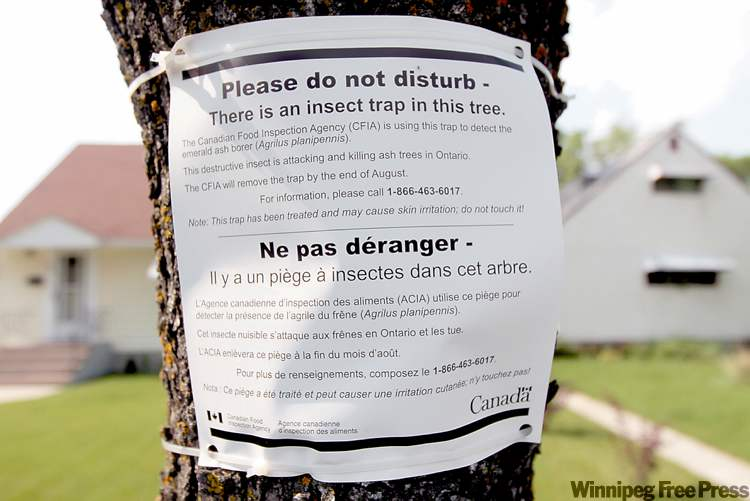 The city has placed sticky, green pyramid-shaped traps high in the limbs of 20 of  Winnipeg's estimated 280,000 ash trees to act as sentinels.