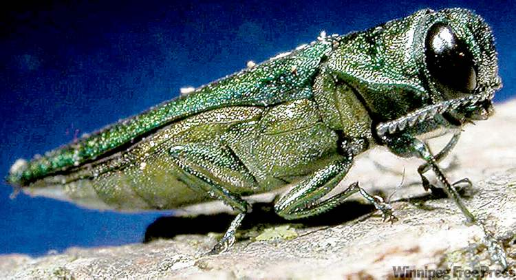 The emerald ash borer is responsible for millions of dollars of damage to ash trees in the U.S.