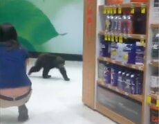 This Sunday, Oct. 19, 2014 still image from Video provided by Robin A. Bishop shows a bear cub walking through a Rite Aid store in Ashland, Ore. Witnesses say the cub first showed up Sunday at a nearby hotel, hopped out a window and crossed the street to the Rite Aid in Ashland, a city just north of the California border. (AP Photo/Robin A. Bishop)