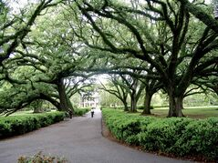 A canopy of tall live oak trees framing the back alley at Oak Alley Plantation in Vacherie, La. is seen.