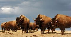 FILE - In an April 24, 2012 file photo, a herd of bison are on the Fort Peck Reservation near Poplar, Mont. Montana wildlife officials on Monday released a shortlist of five entities that could receive bison from Yellowstone National Park under an experimental program to establish new herds of the animals. Ten entities have expressed interested in receiving the animals. That was narrowed to five proposals based on guidance from a panel of state, federal and tribal officials that met last week, said Ron Aasheim, spokesman for Montana Fish, Wildlife and Parks. (AP Photo/Matthew Brown, File)