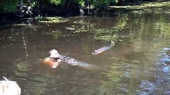 This screen grab from video released by Stacy Hicks shows an unidentified tour guide for Airboat Adventures swimming with and feeding alligators. (AP Photo/Stacy Hicks)