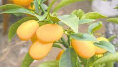 Grow your own kumquats indoors. Ideal for cooking with a sweet peel and sour juicy flesh. A low-maintenance plant that should not be overwatered.