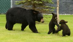 In this Saturday, June 14, 2014 photo, a mother black bear wanders with her two spring cubs near the parking garage along Alumni Drive on the University of Alaska Anchorage campus. (AP Photo/The Anchorage Daily News, Bob Hallinen) LOCAL TELEVISION OUT (KTUU-TV, KTVA-TV) LOCAL PRINT OUT (THE ANCHORAGE PRESS, THE ALASKA DISPATCH)