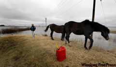 Yvonne Vernaus-Scott and her Arabian horses inspect the ring dike around her St. Adolphe-area home.