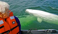 Tour operators say belugas love to swim alongside Zodiacs and eyeball their occupants -- but they have never capsized a boat.