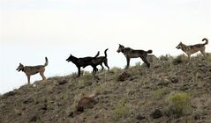 FILE - In this August 2012 file photo provided by Wolves of the Rockies, the Lamar Canyon wolf pack moves on a hillside in Yellowstone National Park, Wyo. The pack's alpha female was among at least five collared wolves from Yellowstone killed by hunters this fall, which prompted Montana wildlife officials to shut down hunting and trapping near the park until a judge blocked the move. Attorneys for Montana Fish, Wildlife and Parks will be in court Monday, Jan. 14, 2013, arguing that wolf harvest closures north of Yellowstone National Park should be reinstated. (AP Photo/Wolves of the Rockies, File)