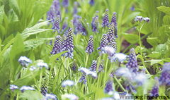 Muscari, or grape hyacinth, tends to naturalize, coming back year after year.