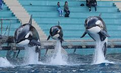 Killer whales at Marineland in animal exhibition park in Antibes.