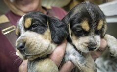 Branko Krpan holds beagle puppies being kept with their mother while they are weened.
