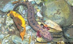 The curious-looking mudpuppy is a large aquatic salamander. More information on the critter is needed.