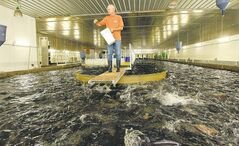 Rudy Reimer of Watersong Fish Farm sends his rainbow trout into a feeding frenzy as he tosses them food. The farm is home to  some 38,000 rainbow trout and employs a closed containment system that simulates a stream and is thought by many to be  the most environmentally friendly method of fish farming.