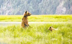 A mother grizzly scans the area for unwelcome males as she and her cub graze on the shoreline sedges.