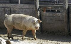 In this Feb. 27, 2012 photo, a sow stands in an open feedlot on a farm in Clear Lake, Iowa. THE CANADIAN PRESS/AP, Charlie Neibergall