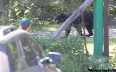 A bear takes a stroll in Riding Mountain National Park. Wild animals are feeling more at home in the cities.