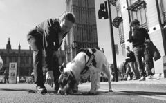 Lulu, a member of a British police explosive dog search team, patrols with her handler during the London Marathon.