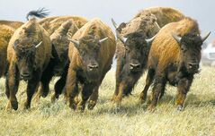Some of the fifty purebred plains bison that were released onto to virgin native grassland near Eastend, Sask., Monday, May 16, 2004, run through the prairie grasses. The wild bison are being released into the Old Man on His Back Prairie Conservation Area. (CP PHOTO/Jeff McIntosh)