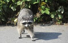 There have been reports of raccoons displaying symptoms of canine distemper throughout the city and in the R.M. of Headingley.