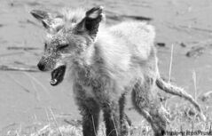 A red fox with mange near a flooded area outside the town of St. Adolphe. Large mammals are not in danger amid flooding conditions.