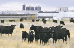 Cattle graze next to XL Foods' Lakeside Packers plant at Brooks, Alta., earlier this month.