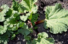 Rhubarb has large, triangular leaves and red leaf stalks.