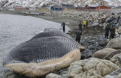 People gather near a rare blue whale carcass in Trout River, N.L. in this undated handout photo. Researchers began carving up the decaying remains of a rare blue whale on Thursday as they prepare to ship the animal's massive skeleton from Newfoundland to a museum in Toronto. THE CANADIAN PRESS/HO, Jacqueline Waters - Royal Ontario Museum