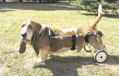 Even paralyzed legs couldn't stop Cooper from getting into trouble.
