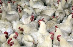 FILE - In this April 3, 2013 file photo, chickens are seen at a chicken farm on the outskirts of Shanghai, China. Chinese scientists have for the first time found strong evidence of how humans got infected with a new strain of bird flu: from chickens at a live market. The research was published online Thursday April 25, 2013 in the journal Lancet. (AP Photo/Gillian Wong, File)