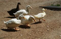 In this Aug. 7, 2011 photo provided by Lydia Yasuda, a group of abandoned ducks named Kindergarten Brigade are seen walking two months after their arrival at The Lucky Duck Rescue & Sanctuary in Sun Valley, Calif. (AP Photo/Lydia Yasuda)