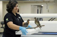 This photo taken June 14, 2014 shows Smithsonian exhibitions expert Megan Dattoria carring Martha, right, an extinct passenger pigeon, once the most plentiful bird on the planet, who went extinct in September 1914 when Martha died in public at the Cincinnati zoo, for her new exhibit at the Smithsonian's Natural history Museum in Washington. Martha, a red-eyed grey-and-brown bird that became famous as the last surviving passenger pigeon, is being taken out of the file cabinets of history in a new Smithsonian Institution exhibit this month, reminding the public of her death and what man did a century ago. A new scientific study this week shows how pigeon populations fluctuated wildly, but how people ultimately killed off the species. And some geneticists are now working on the longshot hope of reviving the passenger pigeon from leftover DNA in stuffed birds. Martha was previously displayed with George, center. (AP Photo/Susan Walsh)