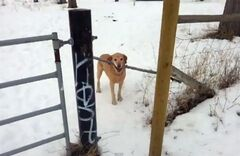 Montana the Labrador carries a large stick as he struggles to get past a gate at a Kamloops, B.C. park on Jan. 26, 2013. The pooch who refused to be stumped by a stuck stick has become a YouTube sensation for its stick-to-itiveness. THE CANADIAN PRESS/HO