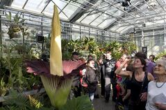 An amorphophallus titanum, or 'phallus' flower, is pictured in Basel, Switzerland, on April 23, 2011. THE CANADIAN PRESS/AP, Keystone, Georgios Kefalas