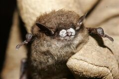 This October 2008 file photo provided by the New York Department of Environmental Conservation shows a little brown bat suffering from white-nose syndrome, with the signature frosting of fungus on its nose, found in a New York cave. Bats are in danger, decimated by a mysterious disease that has wiped out seven million in North America in a few short years. THE CANADIAN PRESS/AP-ho-New York Department of Environmental Conservation, Ryan von Linden, File