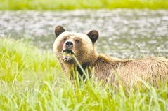 A mother grizzly grazes on the shoreline sedges of Khutze Inlet midway along the Great Bear Rainforest coast.