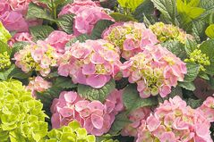 Bloomstruck Big Leaf Hydrangea, the newest addition to the Endless Summer series of reblooming hydrangeas, promises intense rose-pink blooms in alkaline soil or acidify your soil with peat moss, pine needles, and aluminum sulfate for violet-blue blooms.