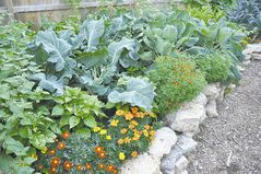 The foundation of sustainable gardening is diversity. It makes sense to plant pollinating plants right next to your vegetables and to have fragrant herbs that are going to discourage disease or pest problems. (Photo credit: )