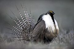This April 2014 photo provided by Colorado Parks and Wildlife shows a Gunnison Sage Grouse with tail feathers fanned near Gunnison, Colo. Federal authorities have issued a moratorium blocking oil, gas and coal leasing on 800,000 acres of public land in southwestern Colorado and eastern Utah that is habitat for the imperiled Gunnison sage grouse. (AP Photo/Colorado Parks and Wildlife, Dave Showalter)
