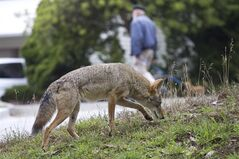 A coyote is shown on a public street in San Francisco in this Sept. 2009 handout photo provided by Janet Kessler. Parks Canada plans to pay a U.S. biologist $100,000 to draft a plan to reduce encounters between people and coyotes in Cape Breton Highlands National Park.(AP Photo/Janet Kessler) NO SALES MANDATORY CREDIT FOR PHOTOGRAPHER