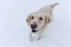 Don't let the fur fool you. Dogs and cats can be somewhat insulated by their warm-feeling coats but in the face of frigid temperatures, pet owners need to take extra measures in protecting Fluffy and Fido. A golden retriever plays in the snow in this recent file photo. THE CANADIAN PRESS/Graeme Roy