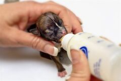 This March 10, 2012 photo provided by El Dorado DOG Photography shows a female Dachshund mix named Beyonce as she is fed in El Dorado Hills, Calif. The puppy named after one of the world's biggest pop stars could set the world's record for tiniest dog. Animal rescuers in Northern California say that Beyonce was so small at birth that she could fit into a spoon. (AP Photo/El Dorado DOG Photography, Lisa Van Dyke) NO SALES NO ARCHIVE MANDATORY CREDIT