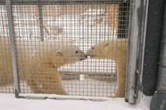 Polar bears Storm and Hudson meet at the Assiniboine Park Zoo for the first time.